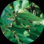 Salacia Extract